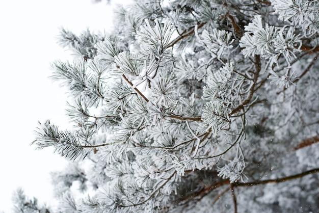 Gałąź sosny pokryta śniegiem i mrozem. zimowy krajobraz lasu.