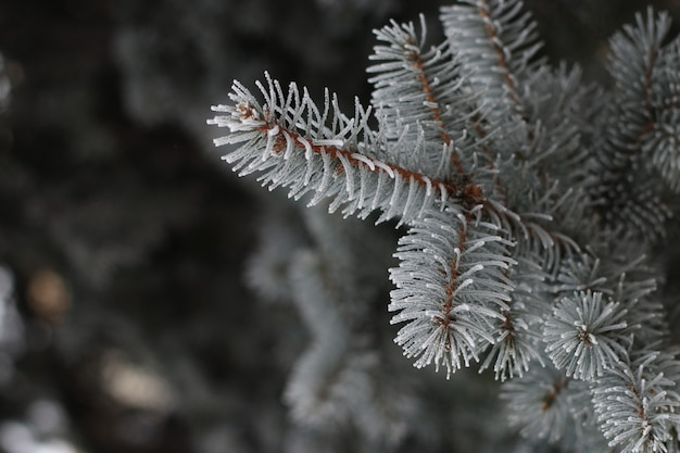 Gałąź świerczyna z szronowym zbliżeniem w miasto parku w zimie