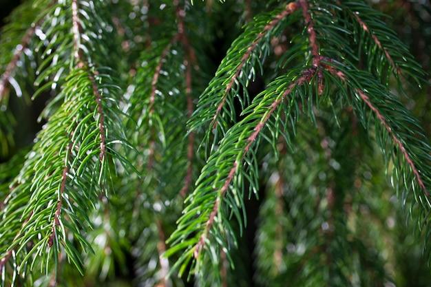 Gałąź świerkowa. piękna gałąź świerka z igłami. choinka w przyrodzie. świerk zielony. naturalne zielone tło