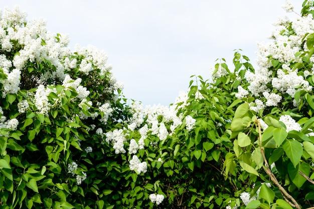 Gałąź syren na drzewie w ogrodzie, park. piękne kwitnące kwiaty drzewa bzu na wiosnę. kwitnie wiosną. koncepcja wiosny. aleja korony. nasyp wołgi w uljanowsku, rosja.