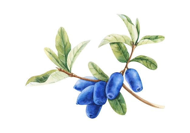 Gałąź wiciokrzewu lonicera caerulea z niebieskimi jagodami i liśćmi. akwarela ilustracja