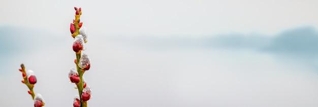 Gałąź wierzby z baziami i kroplami rosy w pobliżu rzeki z poranną mgłą, panorama