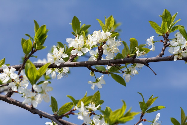 Gałąź wiśniowego drzewa w okresie kwitnienia wiosny na niewyraźne tło błękitnego nieba. selektywne skupienie