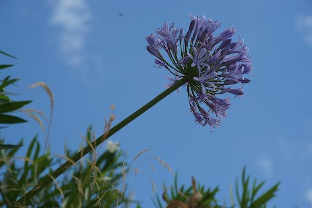 Gałąź wspaniałej fioletowej lilii nilu z niebem