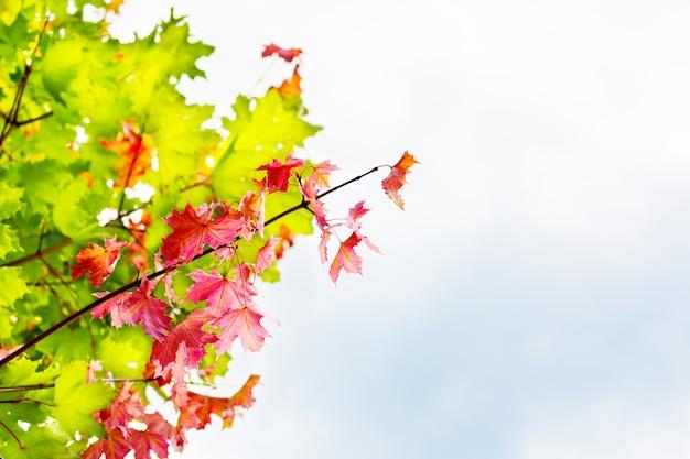 Gałąź z czerwonymi liśćmi klonowymi na jesieni nieba copyspace