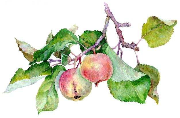Gałąź z dwa czerwonymi jabłkami i zielonymi liśćmi. akwarela ilustracja na białym tle.