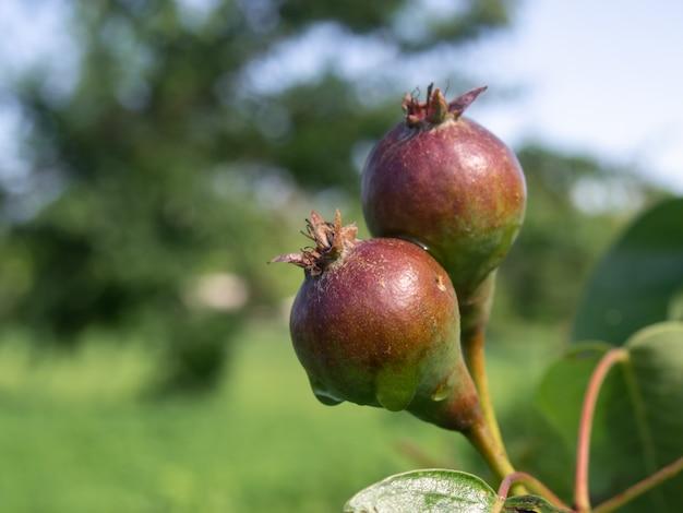 Gałąź z gruszkami w letnim ogrodzie.