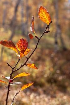 Gałąź z jesiennymi liśćmi na słońcu w podświetleniu. selektywna koncentracja na liściach, tło jest rozmyte. kolory czerwony, żółty i brązowy. pionowy.