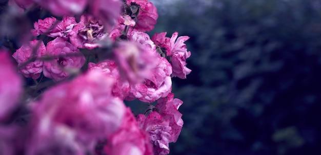 Gałąź z kwitnącymi różowymi pączkami róży i zielonymi liśćmi, sztandar