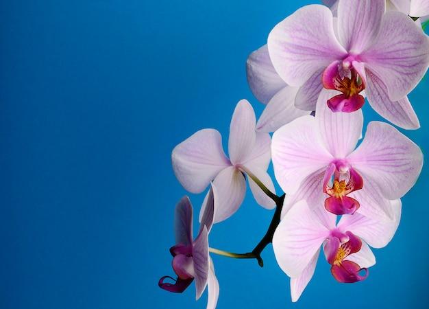 Gałąź z różowymi kwiat orchideami odizolowywać na błękicie