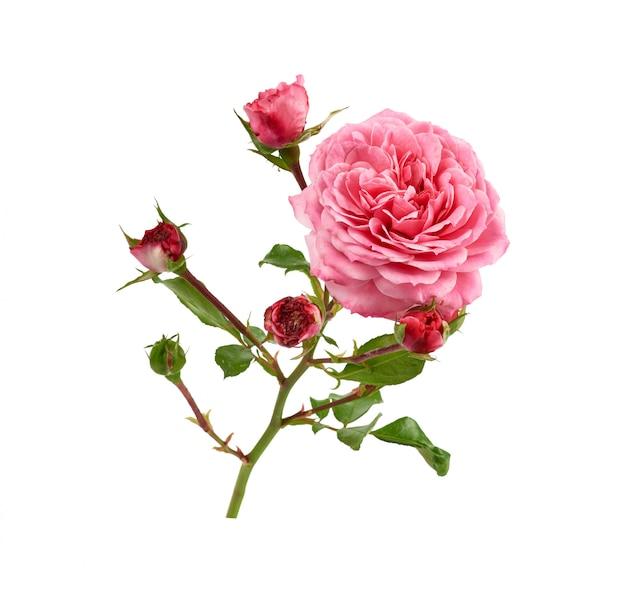 Gałąź z zielonymi liśćmi i różowymi kwitnącymi różanymi pączkami odizolowywającymi