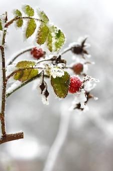 Gałąź zamarznięta psia róża w zimie