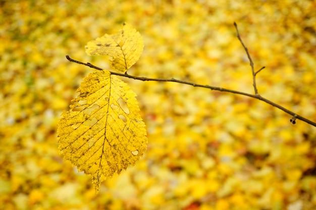 Gałąź żółtego suchego liścia otoczona wieloma innymi na ziemi