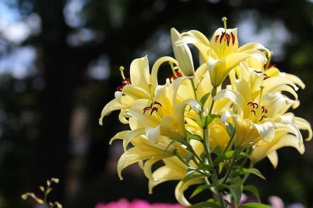 Gałąź żółtych lilii z pąkami z selektywnym skupieniem się na rozmytym tle ogrodu