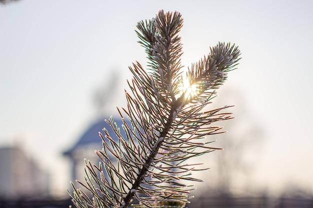 Gałązka choinki z igłami w szron na zbliżenie mroźny dzień. gałąź drzewa przed słońcem. zimowe tło.