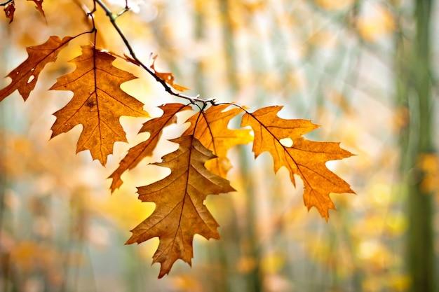Gałązka dębu z kolorowymi jesiennymi liśćmi w jesiennym lesie