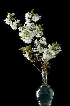 Gałązka kwitnących białych kwiatów wiśni na czarno