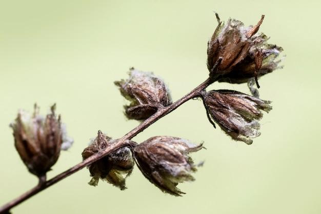 Gałązka suchego pola zeszłorocznych kwiatów