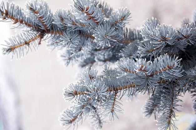 Gałązka świerka niebieskiego pokrytego śniegiem