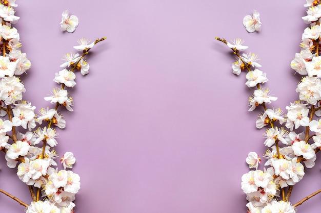 Gałązki moreli z kwiatami na białym tle