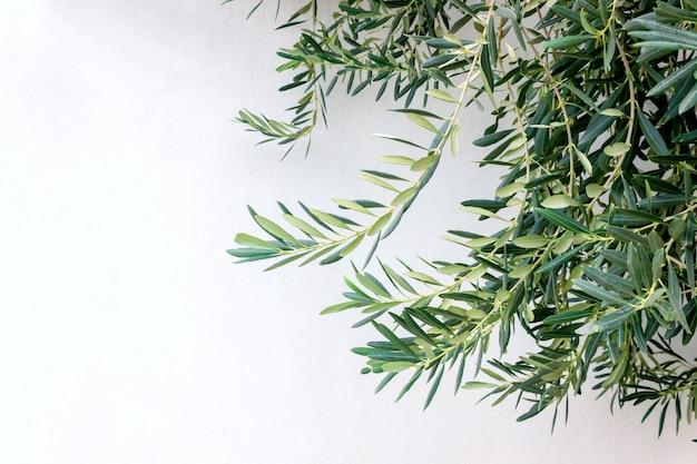 Gałązki oliwne przeciw białej ścianie w słonecznym dniu