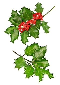 Gałązki ostrokrzewu jagodowego z czerwonymi jagodami na białym tle. świąteczne dekoracje