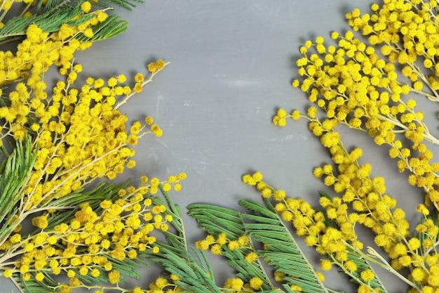 Gałązki puszyste żółte kwiaty mimozy z bliska na szarym tle z miejsca kopiowania. kwieciste tło. leżał płasko.