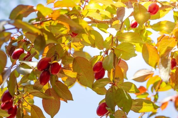 Gałązki śliwki wiśniowej z młodymi czerwonymi owocami, oświetlone promieniami słońca. wiosenny ogród w słoneczny dzień.