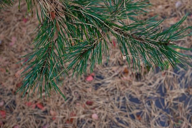 Gałązki sosny późną jesienią widok z góry na gałęzie sosny z zielonymi igłami i suchymi żółtymi igłami leżącymi ...