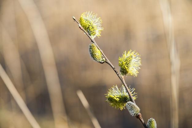 Gałązki wierzby cipki kwitną, w sezonie wiosennym
