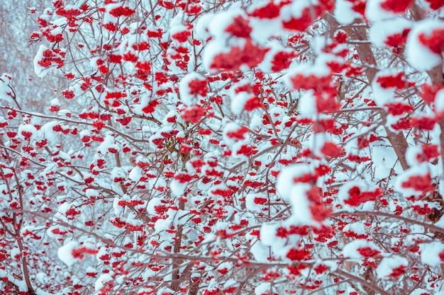 Gałązki z pęczkami jarzębiny pokryte szronem. zimowe tło przyrody