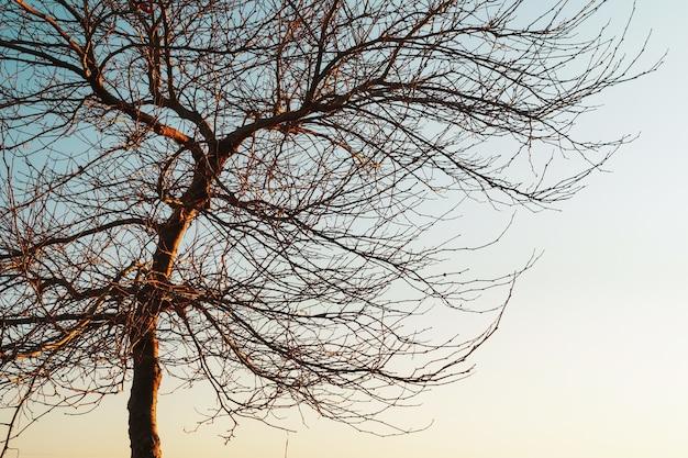 Gałęzie bez liści wdzięcznego drzewa na tle błękitnego nieba zachodzącego słońca.