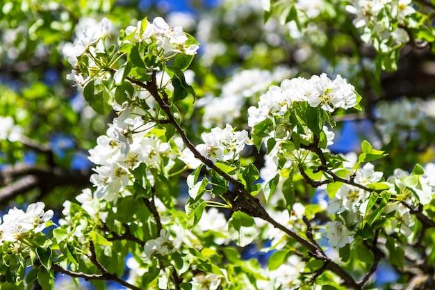 Gałęzie białej jabłoni na niebieskim tle.