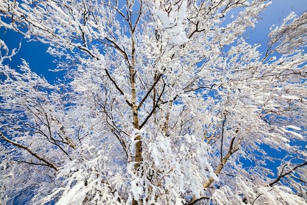 Gałęzie brzozy tego drzewa pokryte białymi płatkami śniegu i szronu, zbliżenie drzewa zimą po zamarznięciu