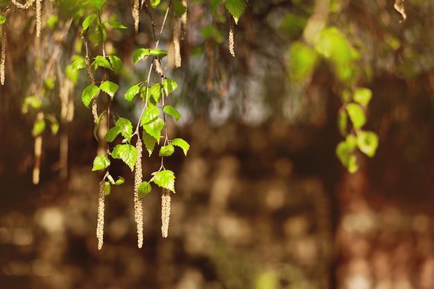 Gałęzie brzozy z jasnozielonymi młodymi liśćmi i baziami w wiosennym słońcu.