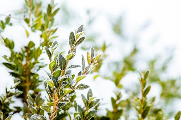 Gałęzie bukszpanu z zielonymi liśćmi pod pokrywą śnieżną