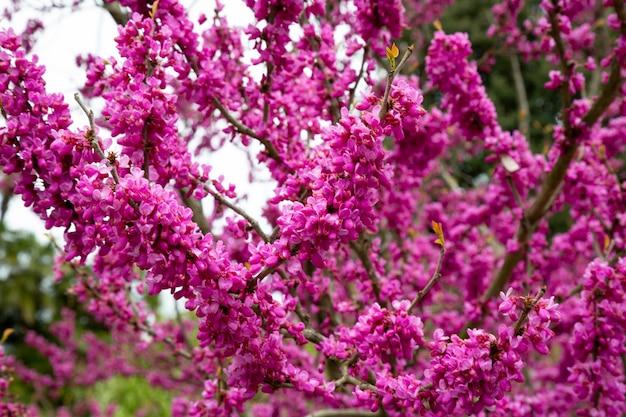 Gałęzie cercis siliquastrum z różowymi kwiatami na wiosnę