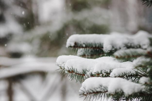 Gałęzie choinki posypane śniegiem w zimie