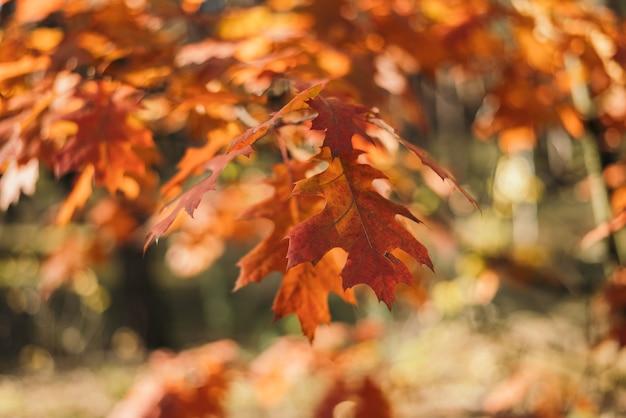 Gałęzie dębu z pomarańczowymi jesiennymi liśćmi na rozmytym tle. jesienne tło z liśćmi dębu.