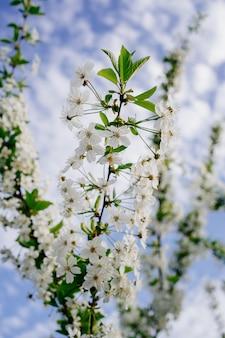 Gałęzie drzew kwitnących. piękno wiosennej natury. ogrodnictwo i rolnictwo. aromaterapia i medytacja. krajobraz.