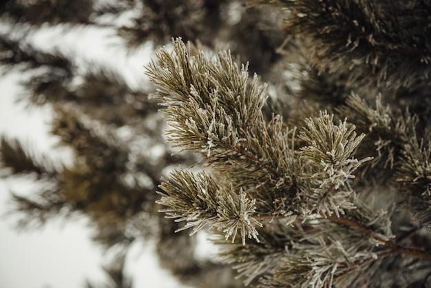 Gałęzie drzewa iglastego pokryte śniegiem.