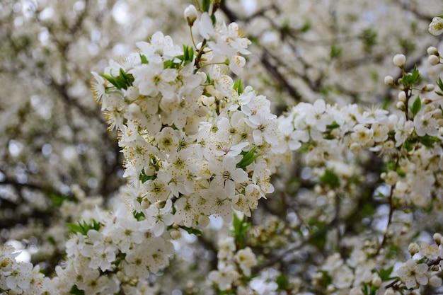 Gałęzie drzewa kwitnące białymi kwiatami na całej ramie. przednia gałąź jest wyostrzona, a tło mocno rozmyte