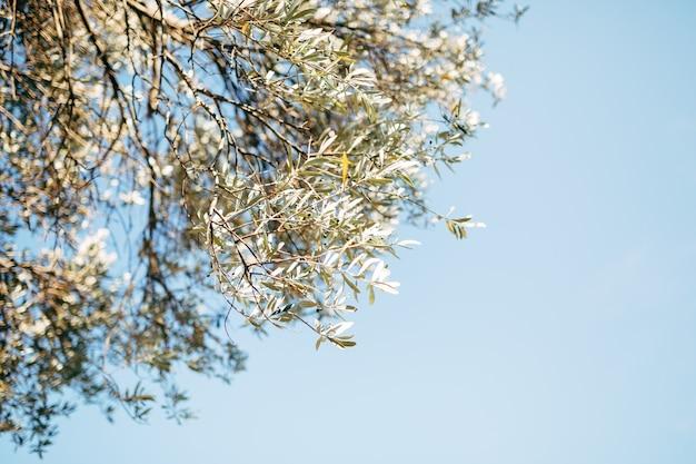 Gałęzie drzewa oliwnego na tle błękitnego nieba