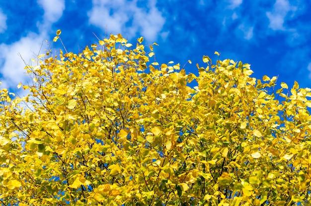 Gałęzie drzewa pełne żółtych liści jesienią z błękitnym niebem