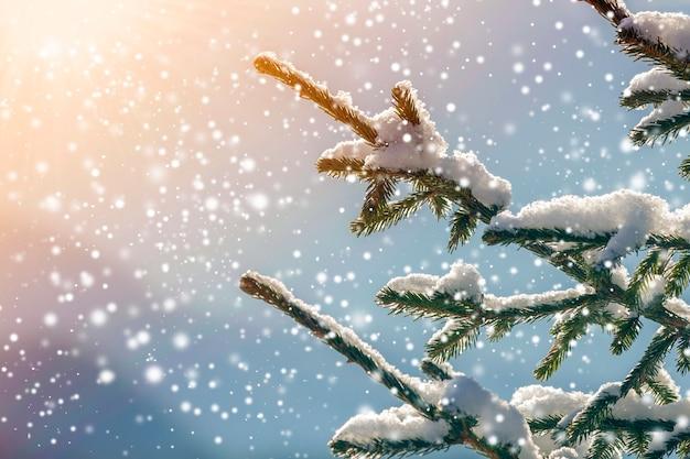 Gałęzie drzewa sosnowego z zielonymi igłami pokryte głębokim świeżym, czystym śniegiem na niewyraźne niebieskie na zewnątrz kopia tło. pocztówka z życzeniami wesołych świąt i szczęśliwego nowego roku. efekt miękkiego światła.