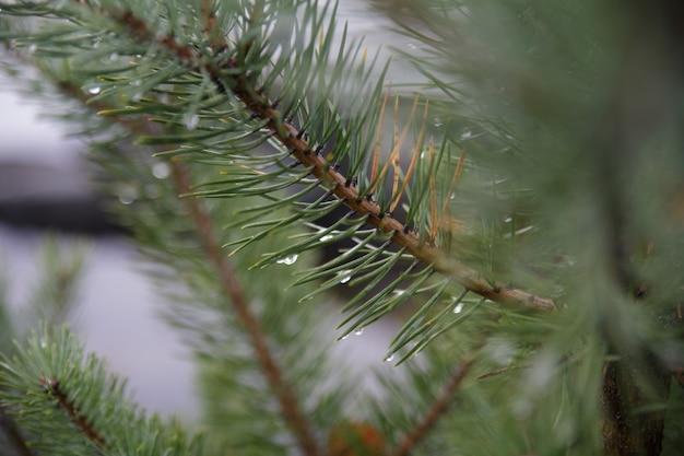 Gałęzie drzewa świerkowego z kroplami rosy na liściach