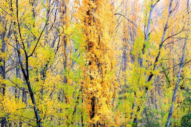 Gałęzie drzewa topoli jesienią z liści o różnych kolorach