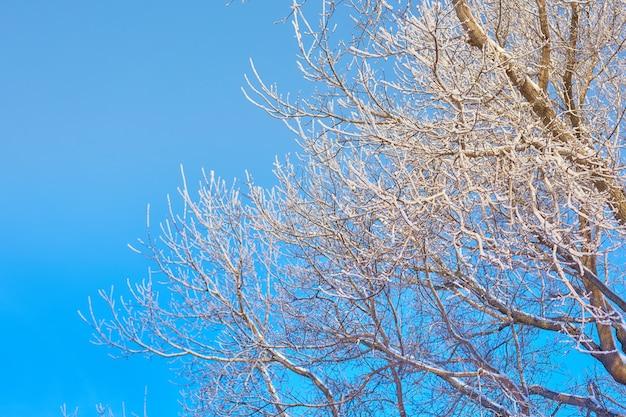 Gałęzie drzewa w mróz na tle niebieskiego nieba.