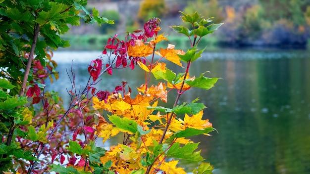 Gałęzie drzewa z kolorowych liści jesienią w pobliżu rzeki, tło jesień