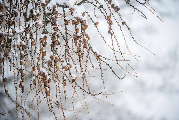 Gałęzie drzewa z małymi szyszkami na zimowym tle